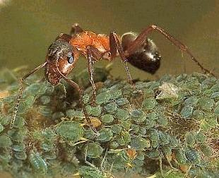 Some ants tend and look aftre aphids; they do this because they can milk the aphid of a sweet juice  -  Hymenoptera Formicidae  -   The Ant  -   An insect related to, or part of a special group of wasps. There are over 15,000 ant-species.
