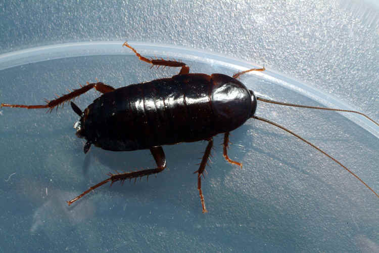 The Oriental Cockroach, species Blatta Orientalis, is considered one of the filthiest of household pests. It is oval, shiny black or dark brown, 25 to 30 mm long, with a life cycle similar to that of the American cockroach. The male has short, fully developed wings, and the female has vestigial wings. This cockroach has been distributed by vehicles of commerce from its Asiatic origins to all the temperate regions.